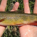 Bringing back the brookie: Successful restoration paints bright future for native trout
