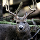 out buck