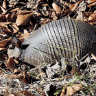out armadilly