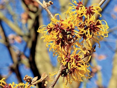 Witch-hazel has adapted as a late flowering plant