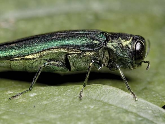 Ash borer found in Asheville