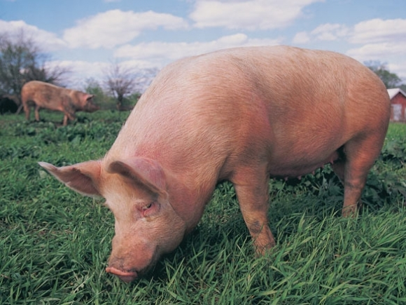 Sponsored: Is the pork at Ingles pasture-raised?