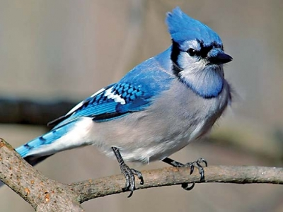 Blue jays arouse mixed feelings among humans