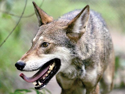 Red wolf reintroduction to cease in southeast N.C.