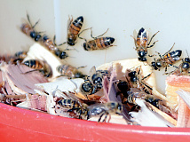 Bees buzz around a feeder at Fred Rovecamp's home in Balsam. Holly Kays photo