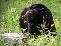 Western North Carolina's black bear population has increased significantly over the last 50 years. Warren Bielenberg photo