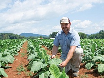 Research specialist Tucker Worley cares for an acre of cigar wrapper tobacco plants at the Mountain Research Station in Waynesville. Holly Kays photo