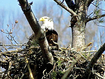 Bald eagles, recovered from likely extinction by the Endangered Species Act, nested successfully at Lake Junaluska in 2019 for the first time in recorded history. Don Hendershot photo