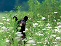 An iconic species of the Smokies, bears rarely hurt humans but on rare occasions may view them as prey. NPS photo