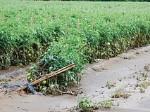 Due to food safety laws, even crops like these tomatoes in Cruso, which look to be relatively intact after the floodwaters receded, will have to be destroyed. This is due to possible contamination in the soil and water. Aug. 19. Holly Kays photo