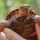 Operation box turtle: Waynesville vet works to give baby turtles a leg up