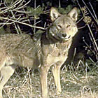 out coyote