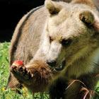 fr bears