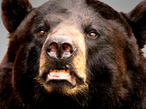 fr bear