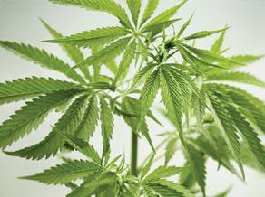 fr marijuana