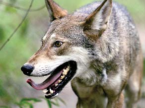 out redwolf