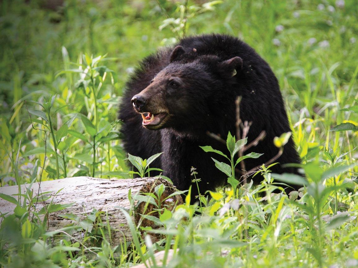 fr bear1