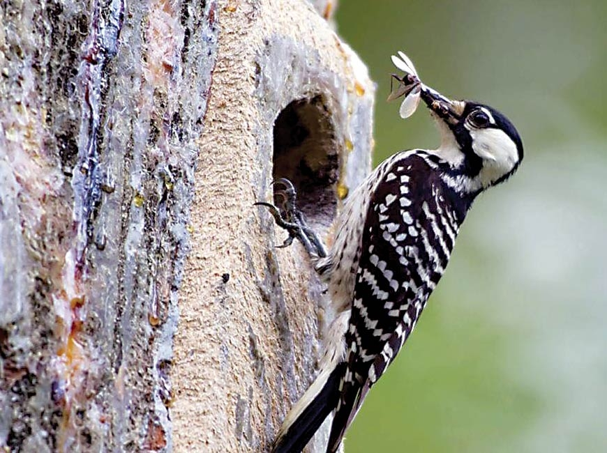 The red-cockaded woodpecker has been listed as an endangered species since 1969. USFWS photo