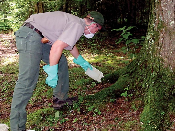 A Smokies staff member treats a hemlock tree to protect it from the hemlock wooly adelgid. NPS photo