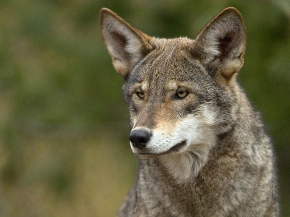 Between coyotes and gray wolves in size, red wolves measure about 26 inches at the shoulder and weigh between 50 and 80 pounds. Monty Sloan photo