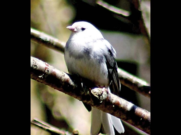 Leucistic junco from Newfound Gap. Don Hendershot photo