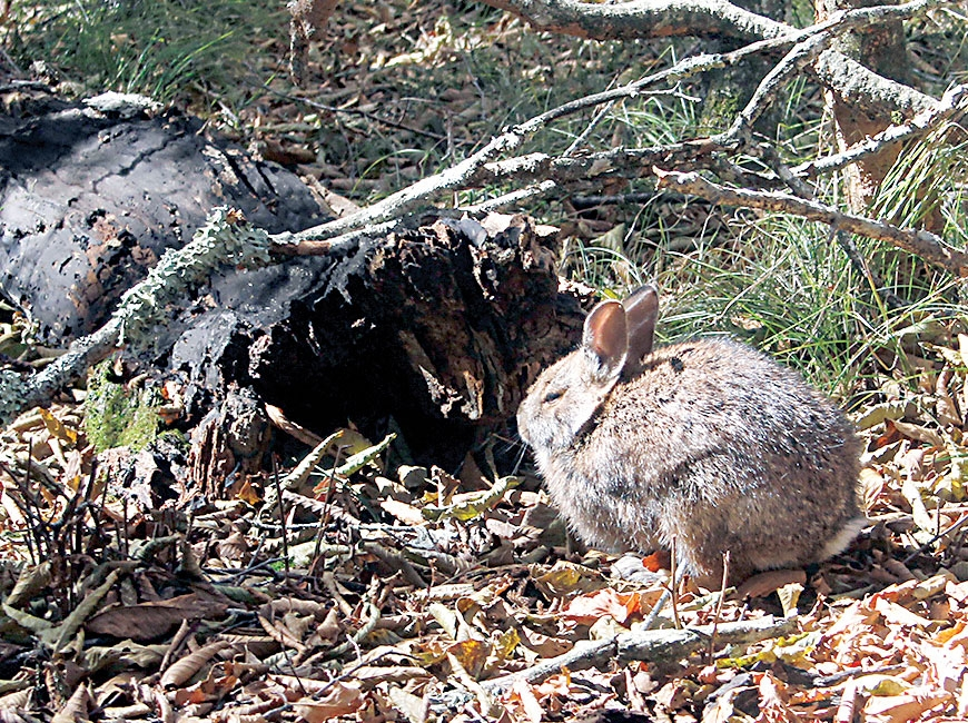 Appalachian cottontails are designated a species of concern by the U.S. Fish and Wildlife Service and classified as vulnerable to critically imperiled throughout most of their range. Andrea Shipley/NCWRC photo