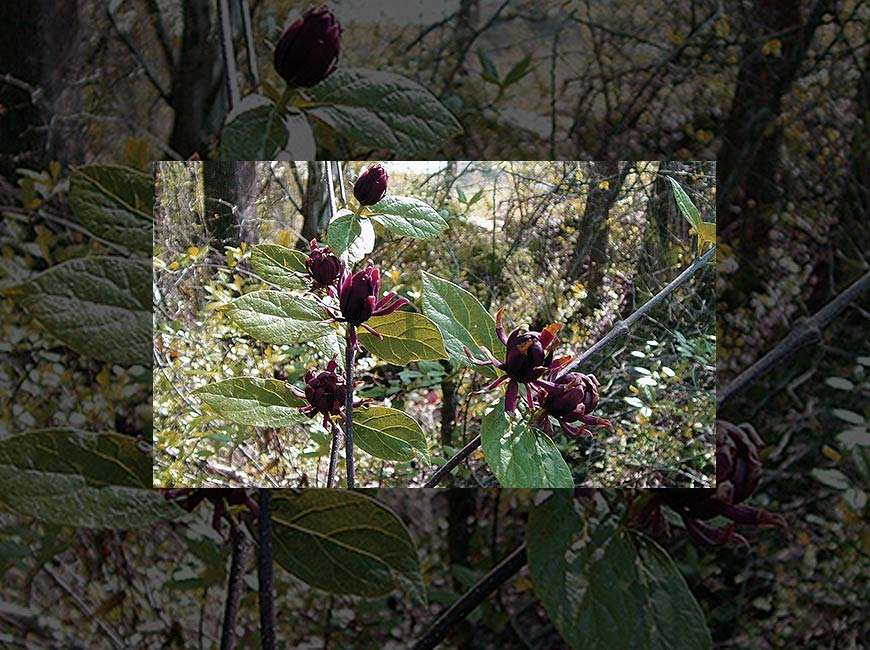 The sweetshrub, Calycanthus floridus, is just one of 36 species for sale this fall from MountainTrue. Donated photo