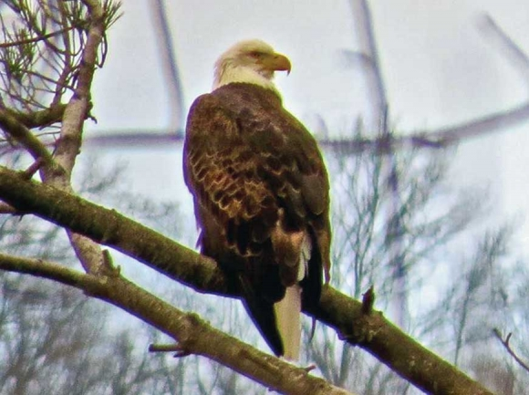 Eagle at the nest from early this winter. Don Hendershot photo