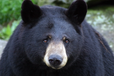Grandfather Mountain mourns loss of Gerry the black bear