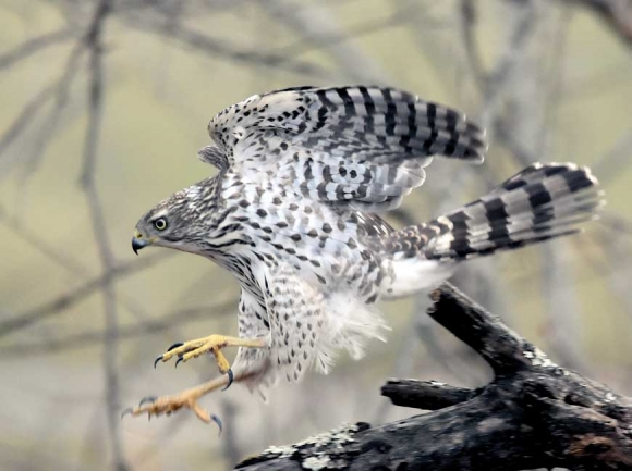 Immature Cooper's hawk from Lake Junaluska. Tim Carstens photo