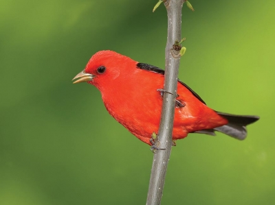 Scarlet tanagers spar in song