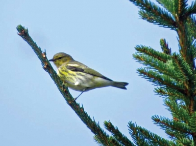Cape May warbler in fall plumage - Ridge Junction September 2017. Don Hendershot photo