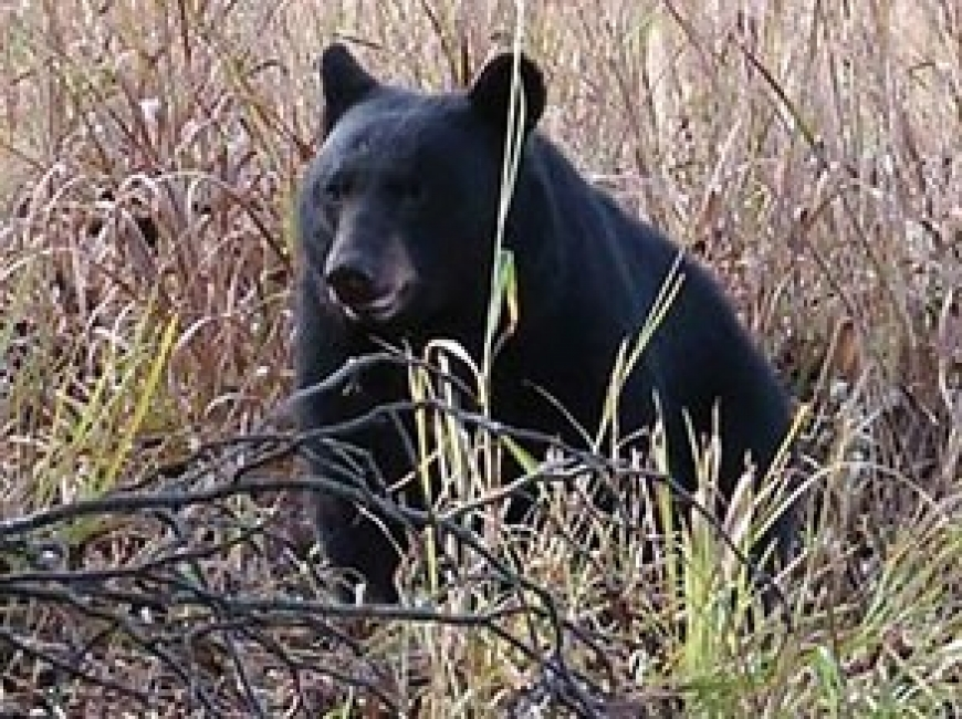 Smokies bear euthanized after scavenging human remains