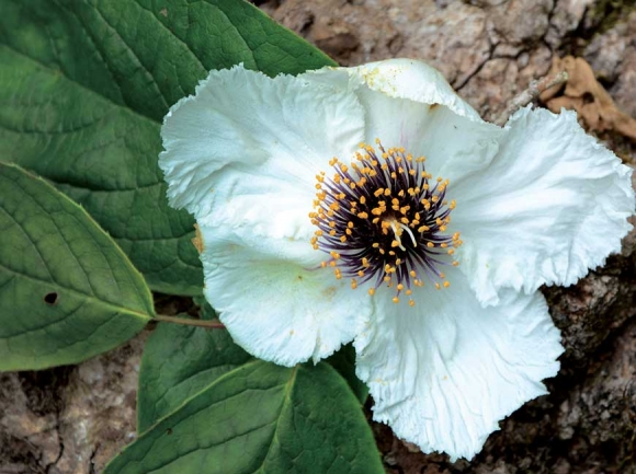 The native mountain camellia has one of the largest blooms of any shrub in the U.S. Holly Kays photos