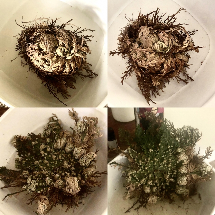 Rose of Jericho blooming throughout the day.