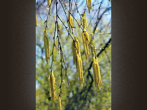Sweet Birch Catkins. Donated photo