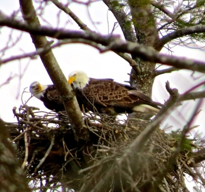 A pair of bald eagles at their Lake Junaluska nest Jan. 30 doing more housekeeping. Don Hendershot photo
