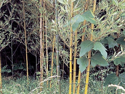 The Naturalist's Corner: Bamboo by any other name